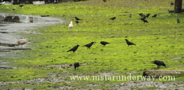 Crows on the beach at low tide in Gig Harbor