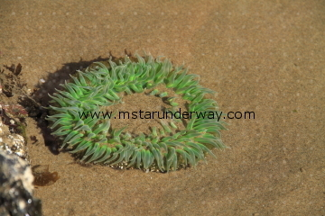 Sea Anemone in the sand