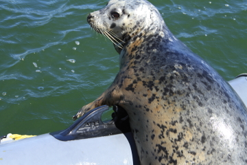 A seal liked to rest in my dingy.